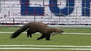 Pine marten invades football pitch and bites player