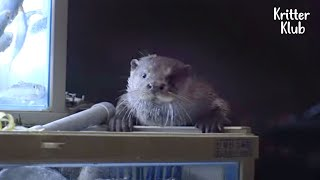 Otter Prefers Fish In The Restaurant To The Ones In The River, But Why? | Kritter Klub