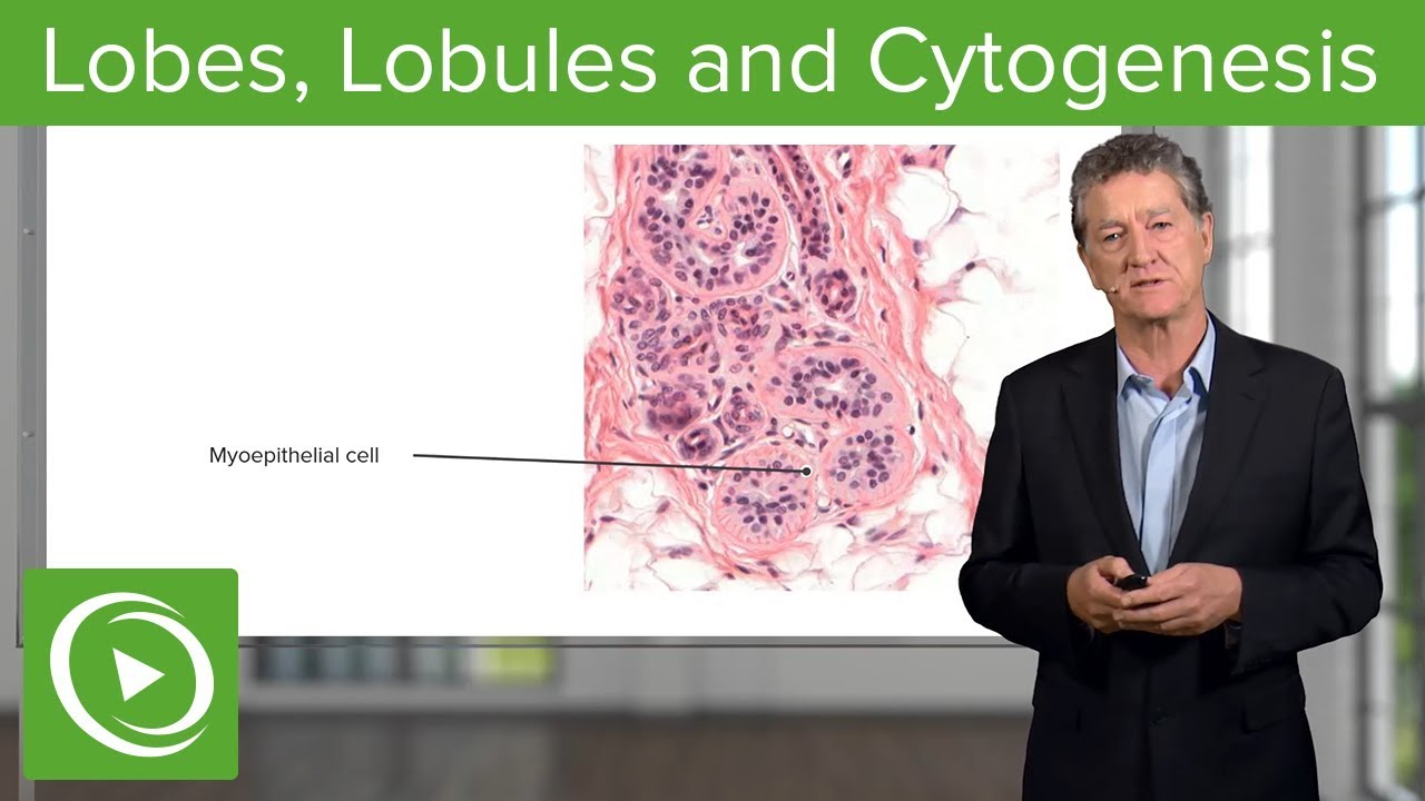 Lobes, Lobules and Cytogenesis – Histology | Lecturio