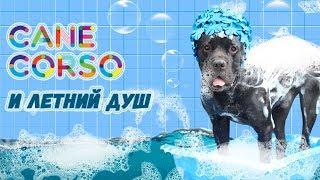 Как мыть собаку Кане Корсо.#canecorso