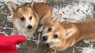 Funny DOGS in SNOW! Winter in Russia / My corgis❤️️