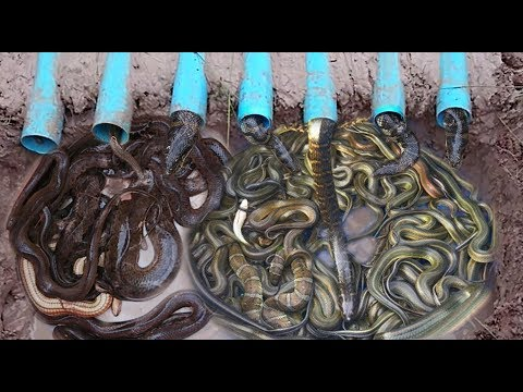 Amazing 7 Blue Pipe Deep Hole Snake Trap To Catch A Lot Of Snakes Make By 2 Smart Boys