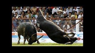 Amazing Buffalo Fight #1 - Buffalo Fighting Viet Nam Festival  2017