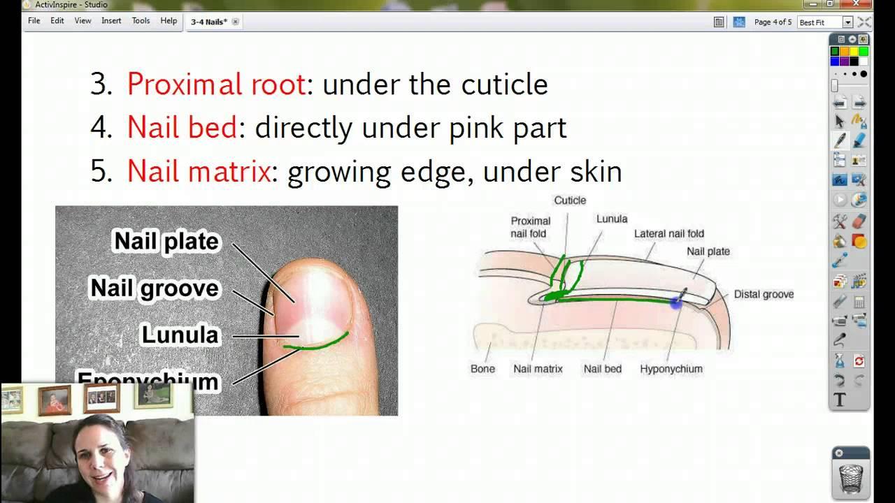 Anatomy 3-4 Nails - YouTube