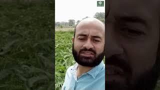 Preparing Green Manure | हरी खाद बनाने की विधि | Indian Farmer Desi Agriculture | Panckhul Agri