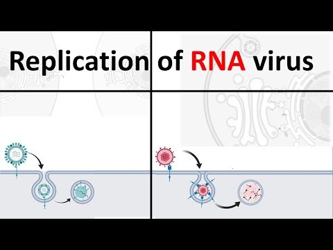 Replication Of RNA Virus