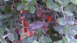 Hummingbird Nest 5/23/18 Daytime thumbnail
