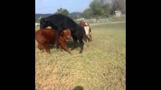 Драки животных(аульские быки)