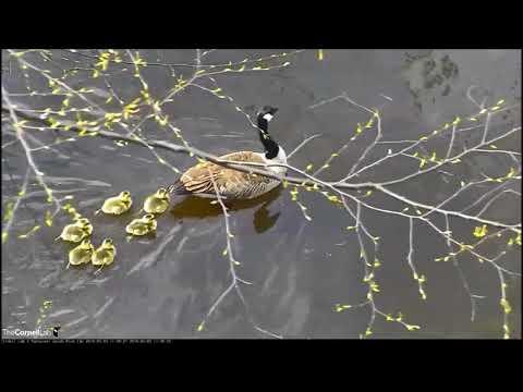 Канадские гуси. Папа, мама и гусята.
