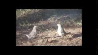Bird Mating Ritual? Mockingbirds Dancing to David Bowie!