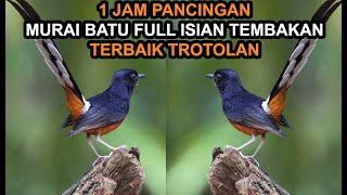 1jam Pancingan Masteran Mp3 Murai Batu Gacor Full Isian Tembakan Mewah Youtube