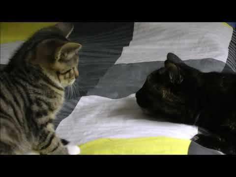 Mongo The Cat meets Zorro The Kitten 20170810