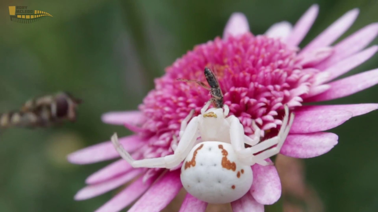 Crab spider preying bumble bee garden spiders spiders flower spiders - A Goldenrod Crab Spider Catches Hover Fly Ischiodon Sp