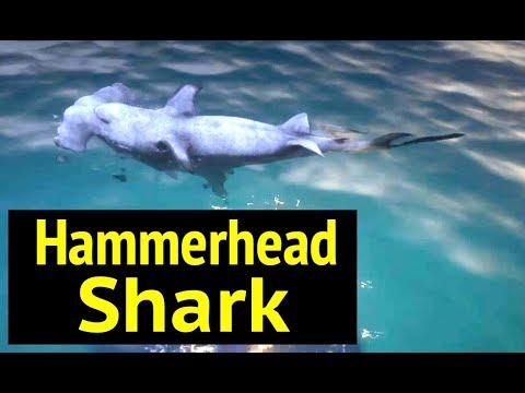 Hammerhead Shark in Red Dead Redemption 2 (RDR2): How To Spawn Easter Egg Sharks in Guarma thumbnail