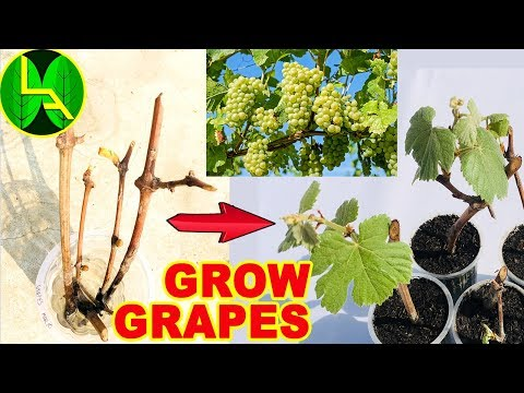 How to grow grape plants at home -  Easy and fast way