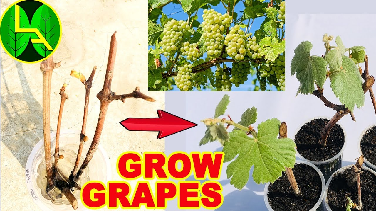 How To Grow Grape Plants At Home Easy And Fast Way Youtube