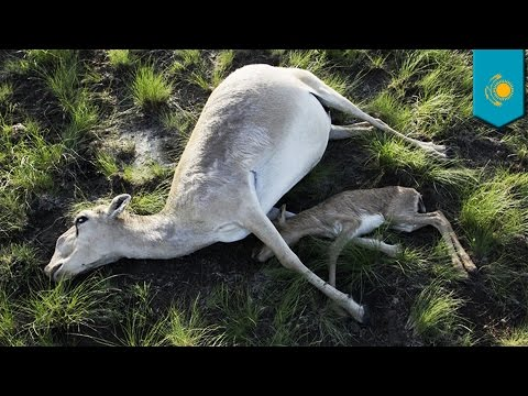 Why did 60,000 endangered antelopes in Kazakhstan die in 4 days? - TomoNews