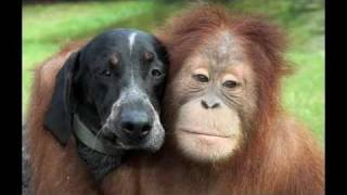 Orangutan (Suryia) & Hound (Roscoe) - I only have eyes for you