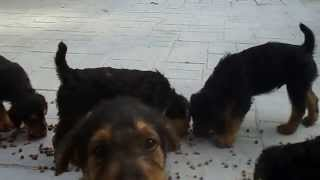 S & S Family Airedales - Video Of Airedale Terrier Puppies - 8 Weeks Old