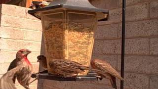 The Backyard Bird Feeder Vlog 6-6-11.  When Hawks Attack!