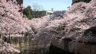 JITV 四季シリーズ 日本の桜 神田川 Japanese Cherry Blooms at Kanda River 神田川之櫻花盛開