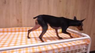 犬種:ミニチュアピンシャー 性別:女の子 カラー:ブラック&タン 生年...