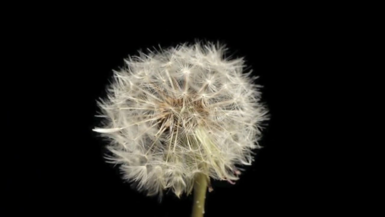 Dandelion Seed Head Forming And Seeds Blowing Away Timelapse Youtube