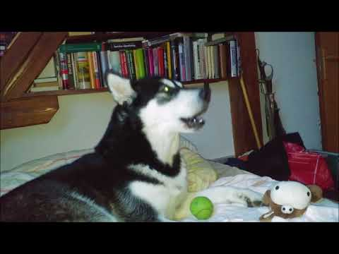Alaskan Malamute having a conversation with the owner