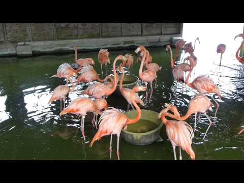 Feeding Caribbean flamingos