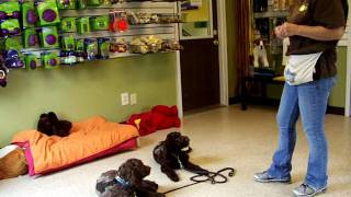 Labradoodle Puppies, Joe Joe & Patches In Puppy Training At K9 Camp