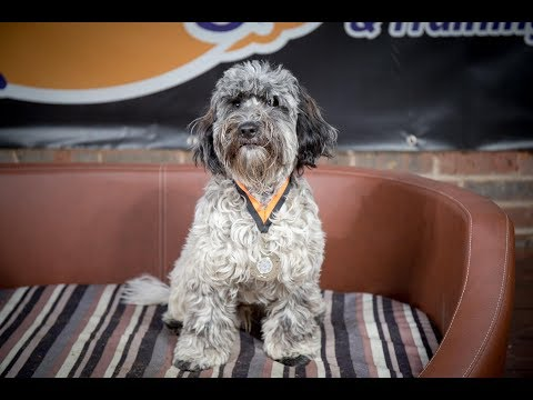 Benny - Cockapoo - 3 Weeks Residential Dog Training