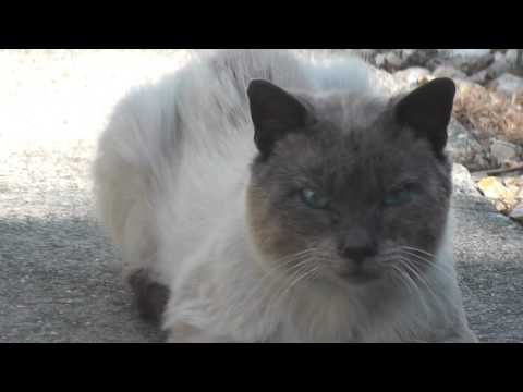 Smokey Boy Blue Eyed Kitty Cat Eyes Siamese & Funny Face Calico
