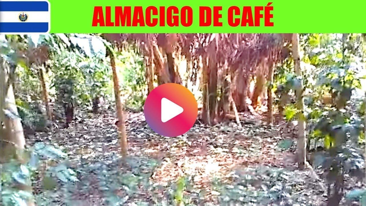 Almacigo casero de caf vivero o semillero en zona rural for Vivero de cafe pdf