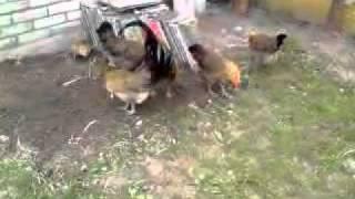 kury zielononóżki kuropatwiane