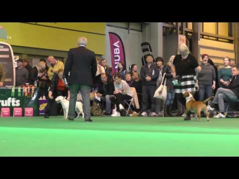 Seaquest Somme by AMiniRumpus Miniature Bull Terrier Crufts Dog show 2017.