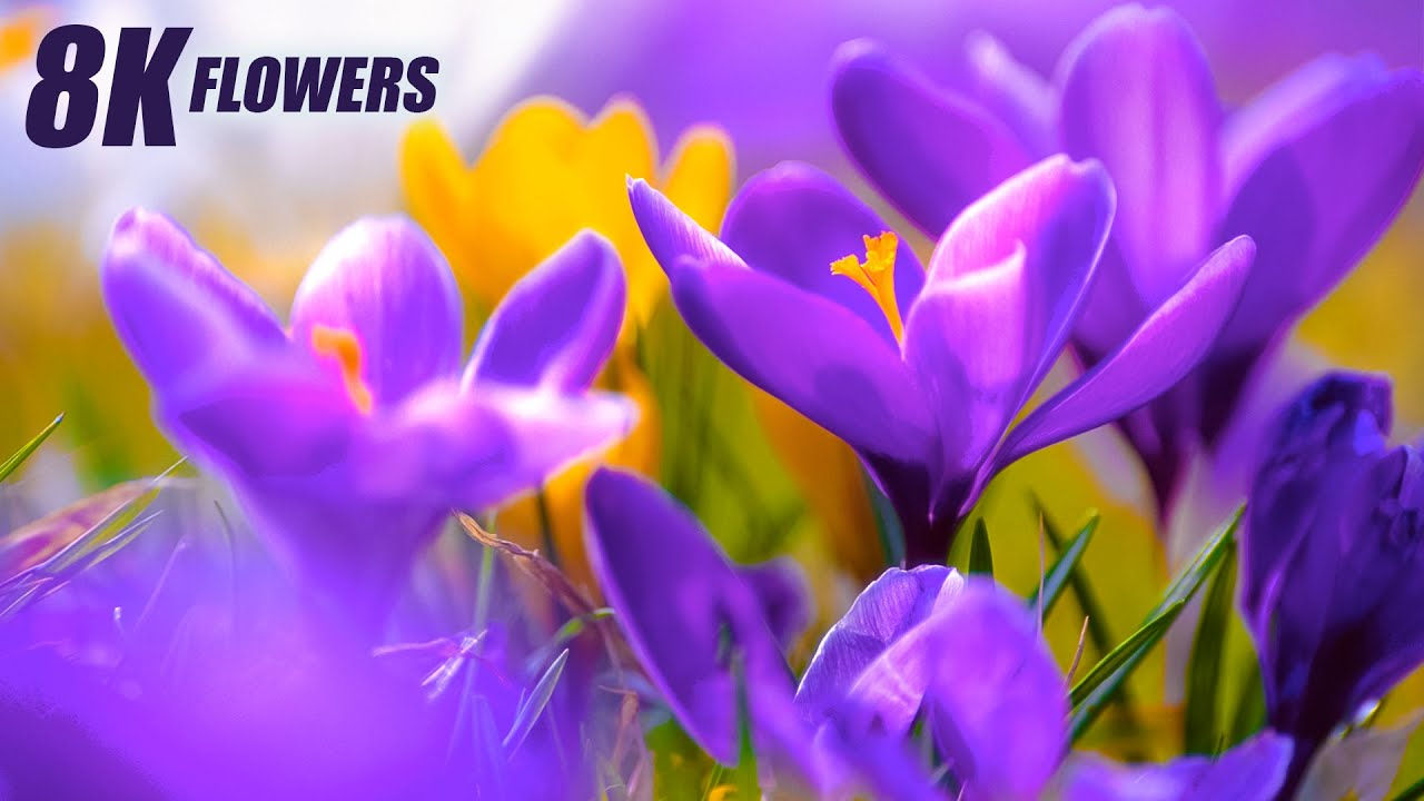 Special Flowers Collection in 8K VIDEO ULTRA HD 60FPS