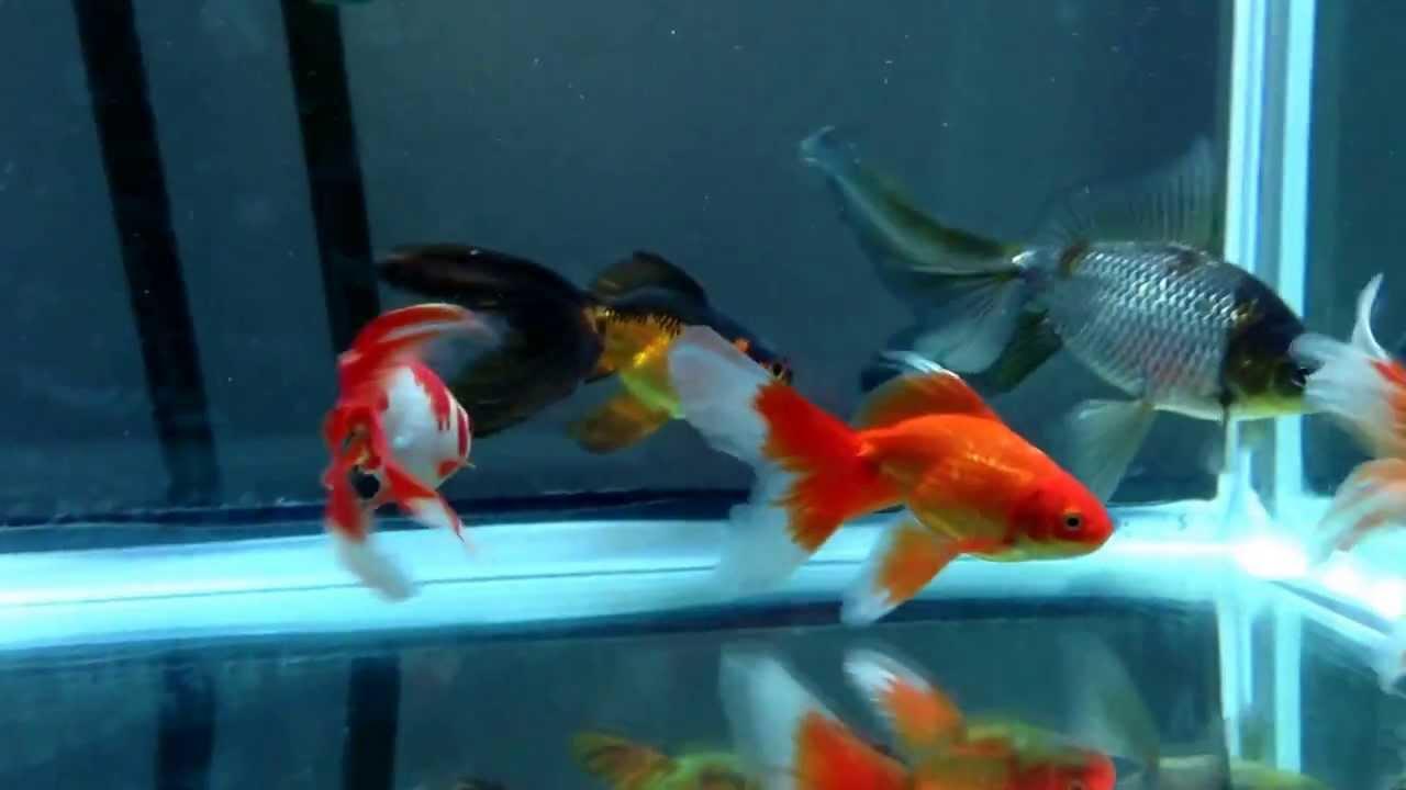 imperial goldfish - photo #32