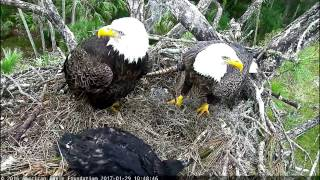 aef nefl eagle cam sunday morning love nips or is romeo in trouble 1 29 17