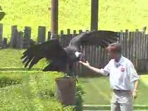 Califia The Andean Condor
