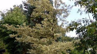 Quercus cerris 'Argenteovariegata' video
