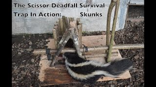 Scissor Deadfall Survival Trap In Action. Trapping Killer Skunks. Primitive Technology