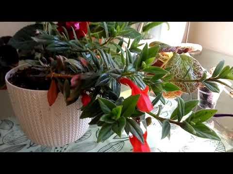 ЭСХИНАНТУС, правила выращивания растения. Семейство Геснериевые.