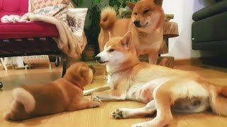 he has rights! 🙊. Ep 26 / Shiba Inu puppies