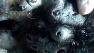 Mengeluarkan Larva bot fly (parasit, ulat lalat) dari Badan Orang Utan