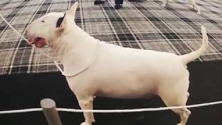 TripTrophy  The Bull Terrier Trophy Show 24th February 2019