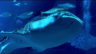 沖縄美ら海水族館 ジンベイザメもいいけど怖い系のサメに会いに行く編 久しぶりに美ら海水族館に寄ってきました。たまに来るのもいいですね...