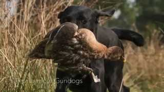Gundog Training Labrador Retrievers Retrieving Shot Game