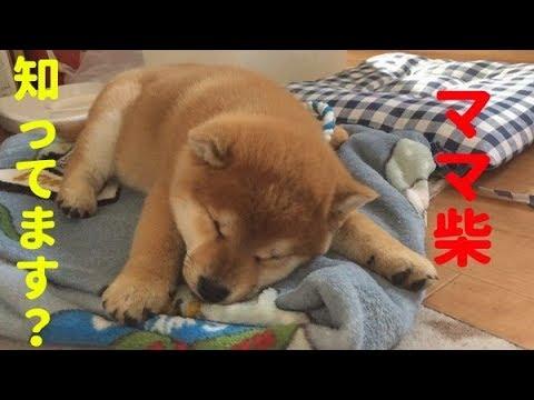 【柴犬子犬】ママ柴、てん ハメ太の犬モノガタリ#26
