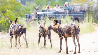 Pack of Wild Dogs - LIVE!