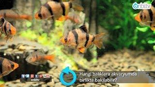 Hangi balıklara akvaryumda birlikte bakılabilir?